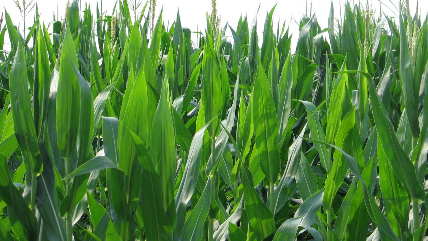 Galicia é responsable do cultivo de aproximadamente o 75% desta gramínea en España.